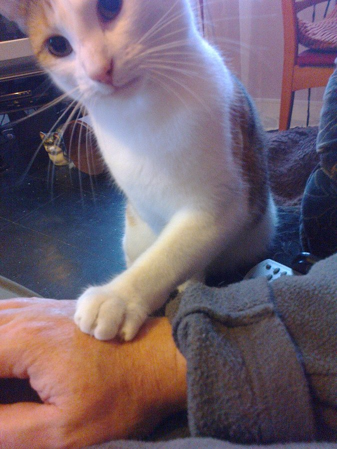 Paw Tapping ? | TheCatSite