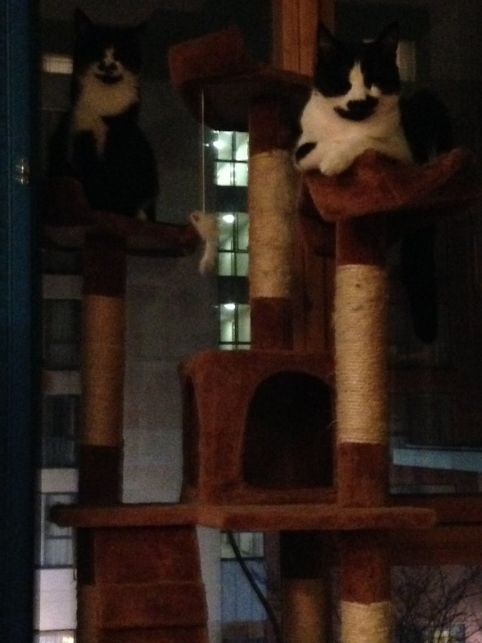 Serena and Robbie on cat tree.JPG