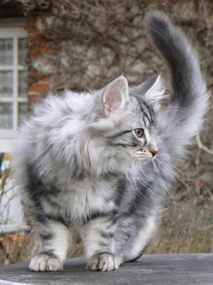 silver-tabby-norwegian-forest-cat.jpg