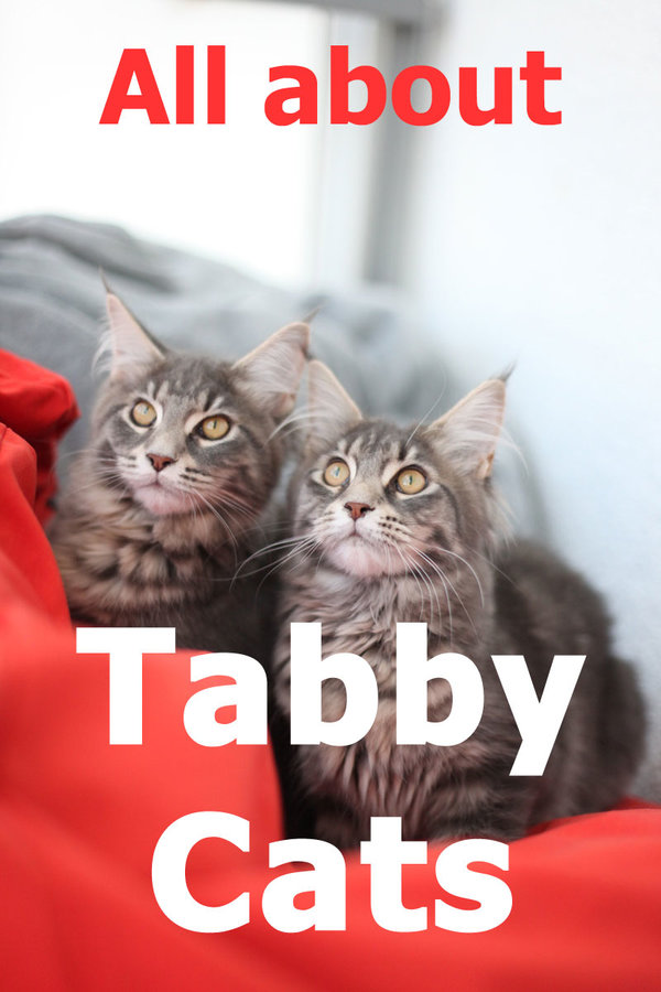 Tabby Cats: Everything you need to know about the tabby coat pattern in cats
