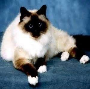 Help Is My Kitten A Siamese Ragdoll Or Snowshoe Thecatsite
