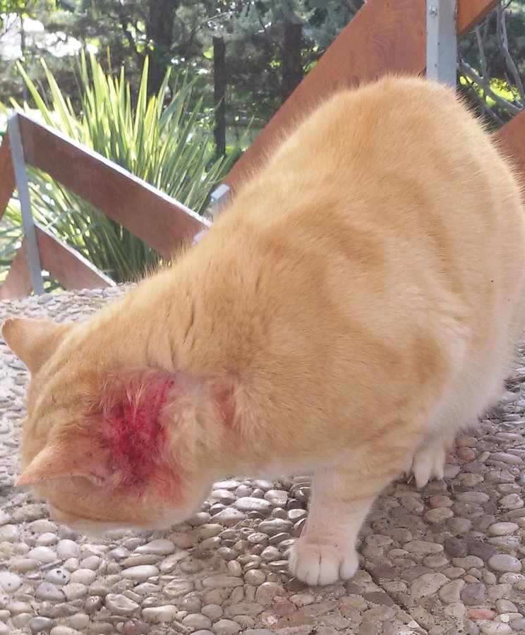 Feral Cat With Ear Mites Thecatsite,Enchilada Recipe Authentic