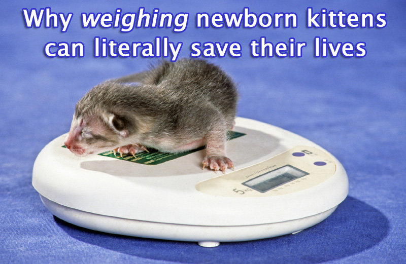 Weighing Newborn Kittens And How This Could Save Their Lives